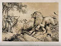 David Livingstone, early European explorer of the interior of Africa, is attacked by a lion