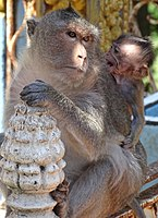 Macaques at Phnom Pros, Kampong Cham Province
