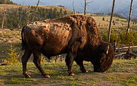 An American bison, the national mammal, in Yellowstone National Park, Wyoming