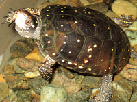 Spotted turtle at the Wild Center.