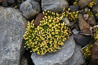 The Antarctic Pearlwort (Colobanthus quitensis), one of two flowering plant species in Antarctica.