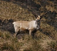 An individual with velvet-covered antlers from the southern herd of the introduced reindeer in South Georgia.