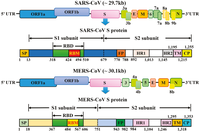 Diagram of the genome and functional domains of the Sprotein for SARS-CoV and MERS-CoV