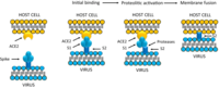 After binding of the ACE2 receptor, SARS-CoV spike is activated and cleaved at the S1/S2 level
