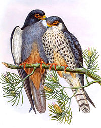 About a million Amur falcons roost in Nagaland. That is about 50 falcons per square kilometre.