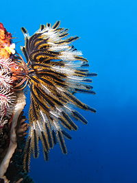 Crinoid on a coral reef