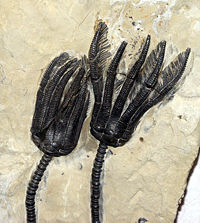 Fossil crinoid crowns