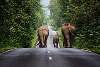 The population of Asian elephants in Thailand's wild has dropped to an estimated 2,000–3,000.