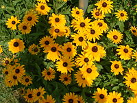 Black-eyed susans, the state flower, grow throughout much of the state.
