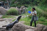 California sea lions play at the Bronx Zoo, the world's largest metropolitan zoo.
