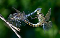Sexual reproduction is nearly universal in animals, such as these dragonflies.