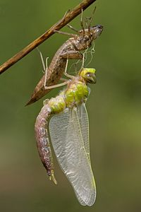 Ecdysis: a dragonfly has emerged from its dry exuviae and is expanding its wings. Like other arthropods, its body is divided into segments.