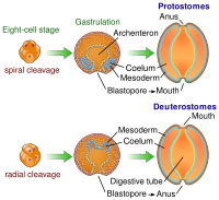 The bilaterian gut develops in two ways. In many protostomes, the blastopore develops into the mouth, while in deuterostomes it becomes the anus.