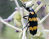 Blister beetles such as Hycleus have brilliant aposematic coloration, warning of their toxicity.