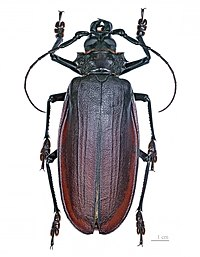 Titan beetle, Titanus giganteus, a tropical longhorn, is one of the largest and heaviest insects in the world.
