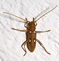 The ivory-marked beetle, Eburia quadrigeminata, may live up to 40 years inside the hardwoods on which the larva feeds.