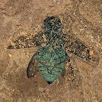 Fossil buprestid beetle from the Eocene (50 mya) Messel pit, which retains its structural color
