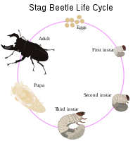 The life cycle of the stag beetle includes three instars.