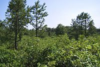 The Albany Pine Bush is the only sizable inland pine barrens sand dune ecosystem in the United States.