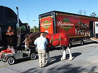 One of the Budweiser Clydesdales