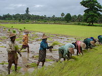 Rice is Myanmar's largest agricultural product.