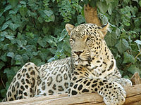 Persian leopard, listed as Endangered on the IUCN Red List.