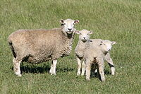 Wool has historically been one of New Zealand's major exports.
