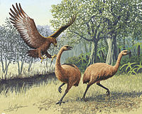 The giant Haast's eagle died out when humans hunted its main prey, the moa, to extinction.