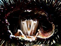 Aristotle's lantern in a sea urchin, viewed in lateral section