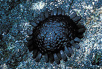 The shape of the shingle urchin allows it to stay on wave-beaten cliffs.