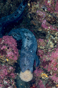 Wolf eel, a highly specialized predator of sea urchins