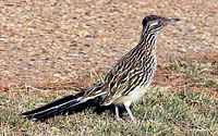 Greater roadrunner (the state bird of New Mexico)