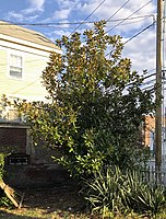 Mature Magnolia grandiflora on the north side of Bank Street (intersection with Montauk Avenue) in New London, Connecticut.
