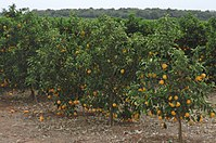 Orange in São Paulo. In 2018, Brazil was the world's largest producer, with 17 million tons. Latin America produces 30% of the world's orange.