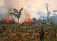 Burning forest in Brazil. The removal of forest to make way for cattle ranching was the leading cause of deforestation in the Brazilian Amazon rainforest from the mid-1960s. Soybeans have become one of the most important contributors to deforestation in the Brazilian Amazon.
