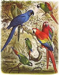 Glaucous macaw (behind hyacinth macaw) and other macaws. Macaws are long-tailed, often colorful New World parrots.