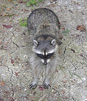Female raccoon of the Vancouver Island subspecies at Sidney, British Columbia, with characteristic dark fur.