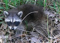 An eastern raccoon (P. l. lotor) kit