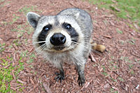 A Florida raccoon (P. l. elucus) in the Everglades approaches a group of humans, hoping to be fed.