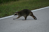 Young Florida raccoon (P. l. elucus) crossing a road