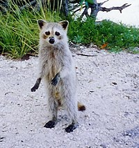 A Torch Key raccoon (P. l. incautus) in Cudjoe Key, Florida. Subspecies inhabiting the Florida Keys are characterized by their small size and very pale fur.