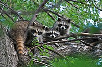 "Eastern raccoons (P. l. lotor) in a tree: The raccoon's social structure is grouped into what Ulf Hohmann calls a ""three-class society""."