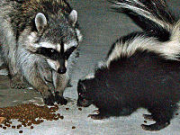 A skunk and a California raccoon (P. l. psora) share cat food morsels in a Hollywood, California, backyard