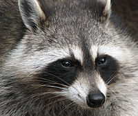The mask of a raccoon is often interrupted by a brown-black streak that extends from forehead to nose.
