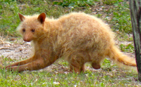 An albino Florida raccoon (P. l. elucus) in Virginia Key, Florida