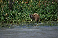Mississippi Delta raccoon (P. l. megaloudus) searching for food on a lake shore