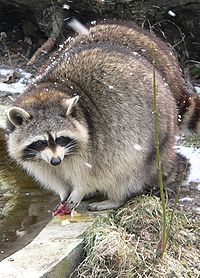 Captive raccoons often douse their food before eating.
