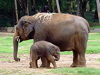 Elephant and calf in the Mysore Zoo