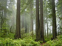 A forest of redwood trees in Redwood National Park