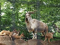 Markhor in a Japanese zoo